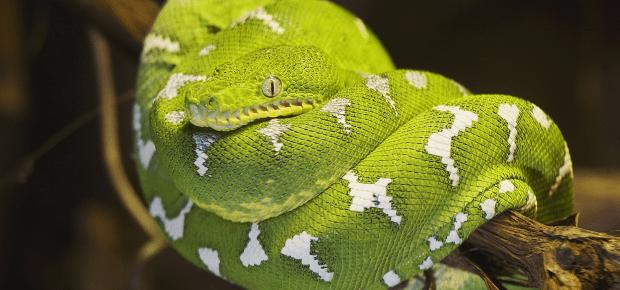 Psohlavec zelený - Corallus caninus