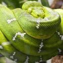 Psohlavec zelený - lat. Corallus caninus